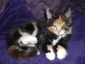 Futterangewöhnung bei Maine Coon Kitten